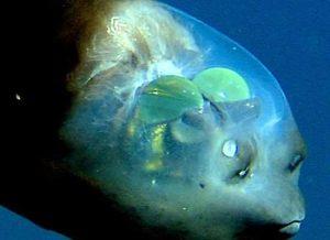 Transparent head fish