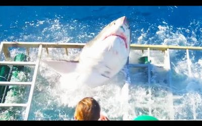The incident of a white shark attacking a diver cage